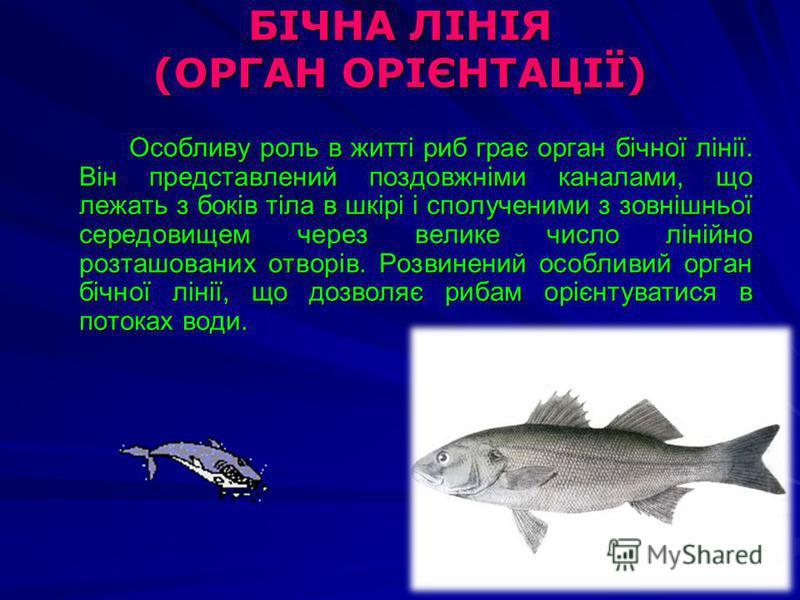 БІЧНА ЛІНІЯ (ОРГАН ОРІЄНТАЦІЇ) Особливу роль в житті риб грає орган бічної лінії. Він представлений поздовжніми каналами, що лежать з боків тіла в шкірі і сполученими з зовнішньої середовищем через велике число лінійно розташованих отворів. Розвинени