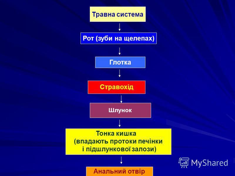 Травна система Рот (зуби на щелепах) Глотка Стравохід Шлунок Тонка кишка (впадають протоки печінки і підшлункової залози) Анальний отвір