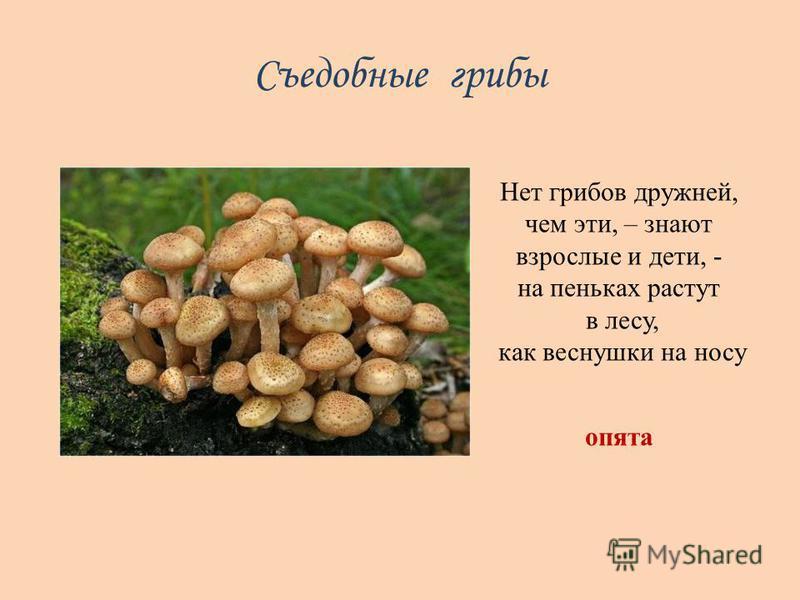 Съедобные грибы Нет грибов дружней, чем эти, – знают взрослые и дети, - на пеньках растут в лесу, как веснушки на носу опята