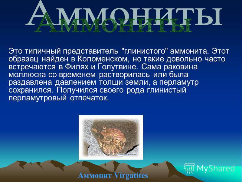 Аммонит Virgatites Это типичный представитель