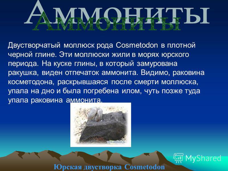 Юрская двустворка Cosmetodon Двустворчатый моллюск рода Cosmetodon в плотной черной глине. Эти моллюски жили в морях юрского периода. На куске глины, в который замурована ракушка, виден отпечаток аммонита. Видимо, раковина косметодона, раскрывшаяся п
