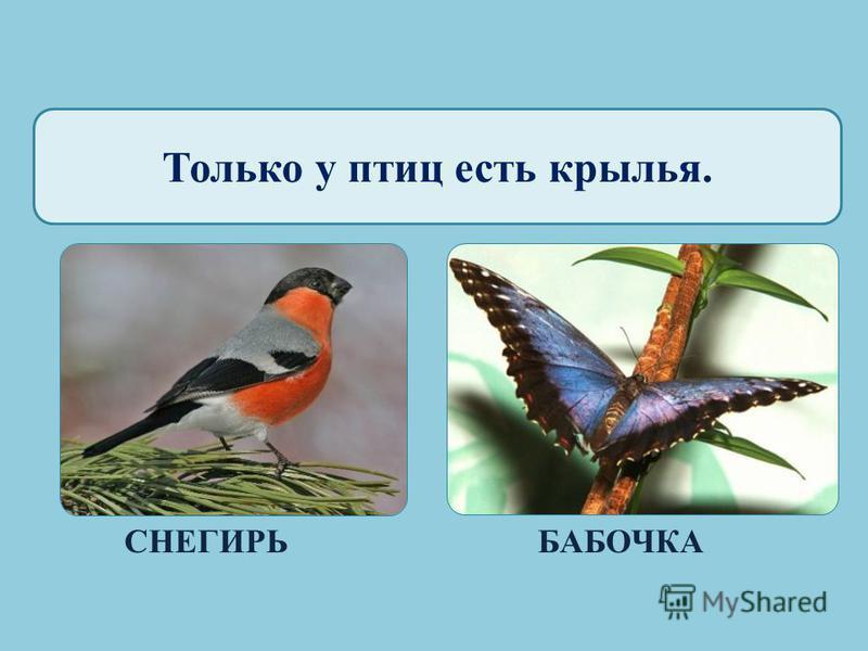 Только у птиц есть хвост. ГЛУХАРЬОКУНЬ