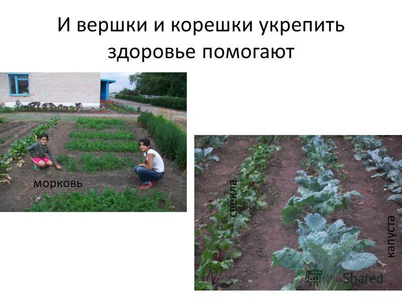 И вершки и корешки укрепить здоровье помогают морковь свекла капуста