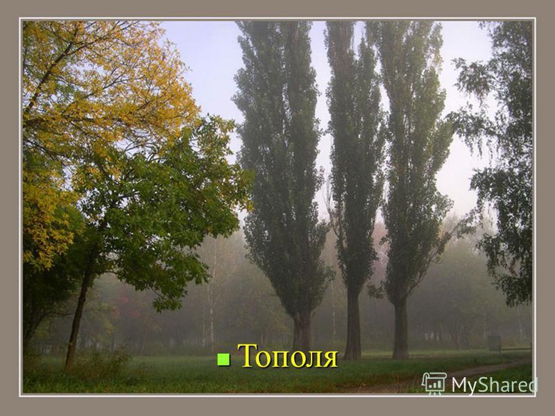 Тополя Тополя