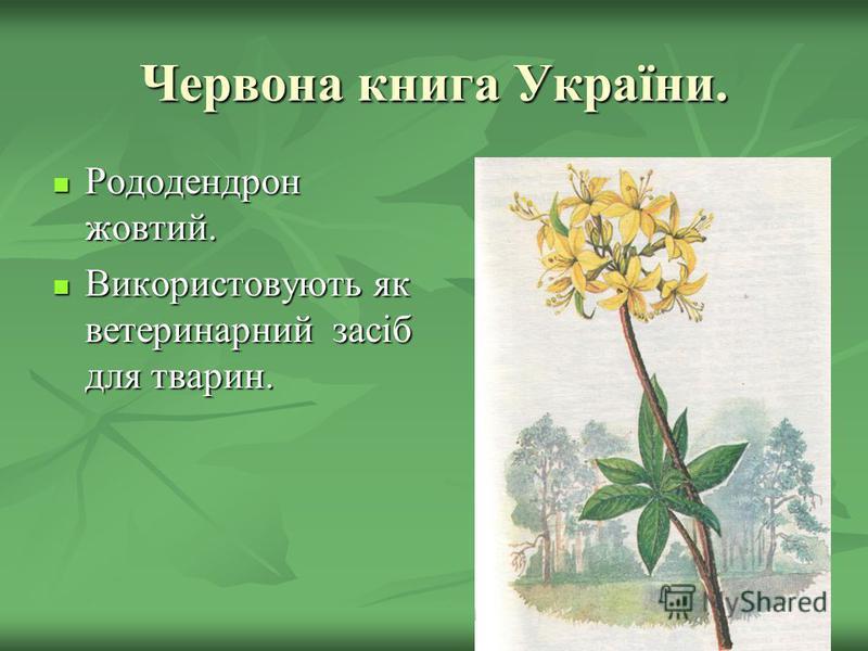 Червона книга України. Рододендрон жовтий. Рододендрон жовтий. Використовують як ветеринарний засіб для тварин. Використовують як ветеринарний засіб для тварин.
