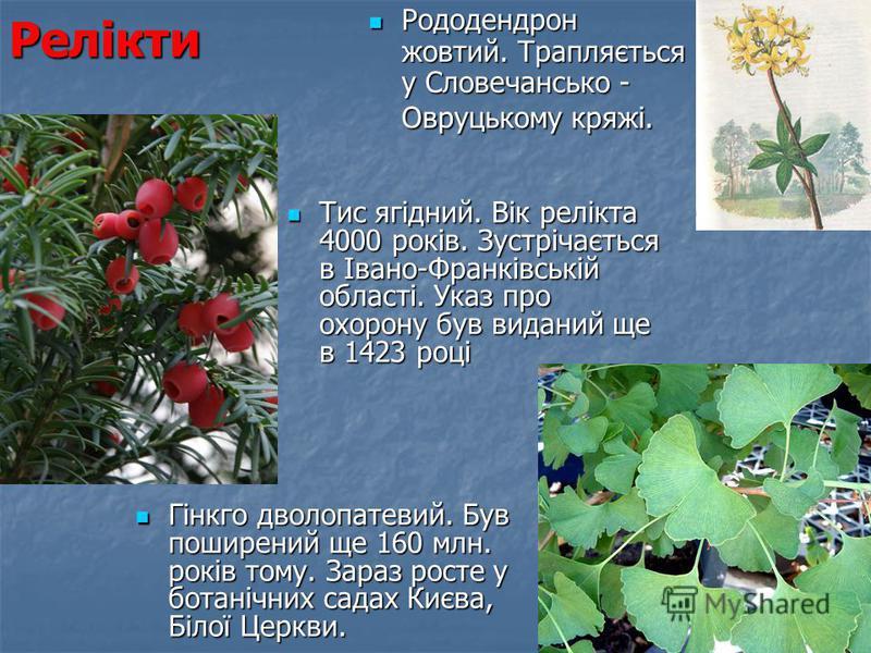 Релікти Рододендрон жовтий. Трапляється у Словечансько - Овруцькому кряжі. Рододендрон жовтий. Трапляється у Словечансько - Овруцькому кряжі. Гінкго дволопатевий. Був поширений ще 160 млн. років тому. Зараз росте у ботанічних садах Києва, Білої Церкв