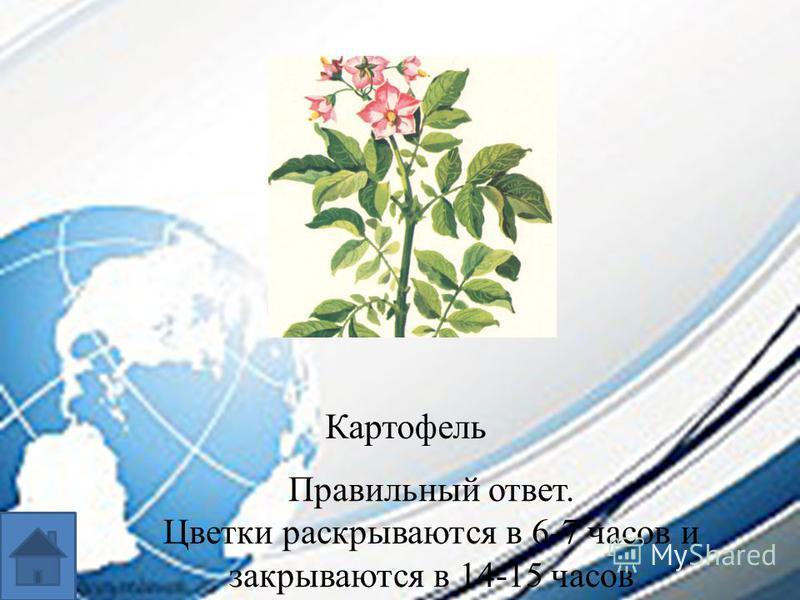 Картофель Правильный ответ. Цветки раскрываются в 6-7 часов и закрываются в 14-15 часов