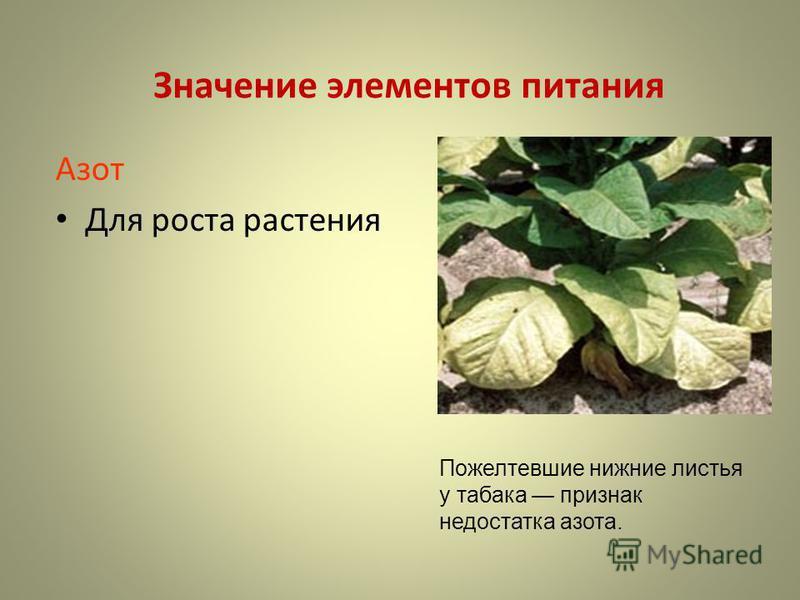 Значение элементов питания Азот Для роста растения Пожелтевшие нижние листья у табака признак недостатка азота.