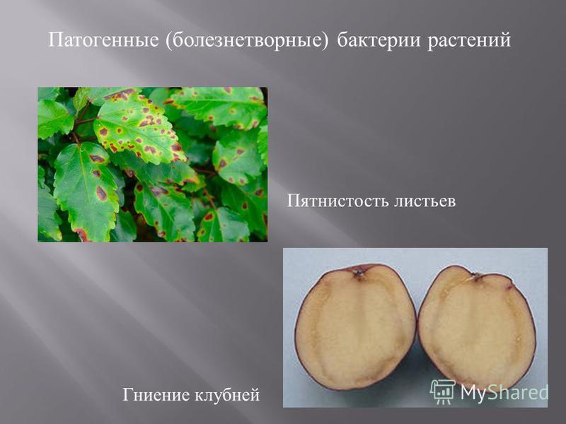 Патогенные ( болезнетворные ) бактерии растений Пятнистость листьев Гниение клубней