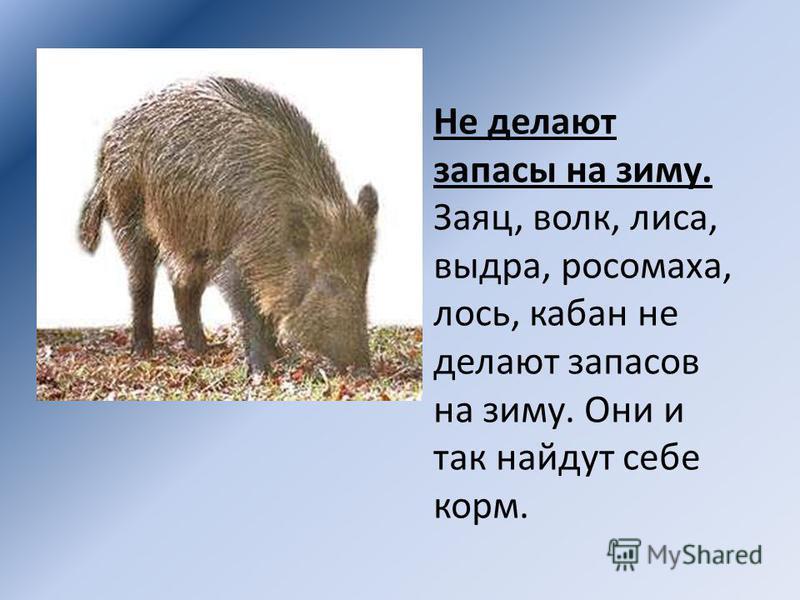 Не делают запасы на зиму. Заяц, волк, лиса, выдра, росомаха, лось, кабан не делают запасов на зиму. Они и так найдут себе корм.