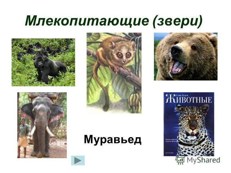Млекопитающие (звери) Муравьед