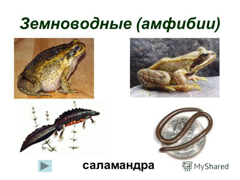 Земноводные (амфибии) саламандра