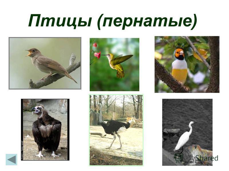 Птицы (пернатые)