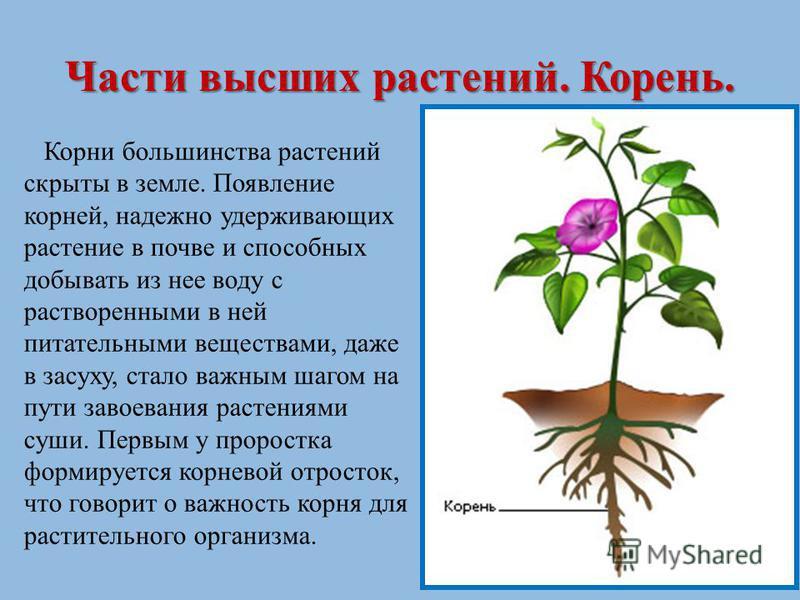 Части высших растений. Корень. Корни большинства растений скрыты в земле. Появление корней, надежно удерживающих растение в почве и способных добывать из нее воду с растворенными в ней питательными веществами, даже в засуху, стало важным шагом на пут