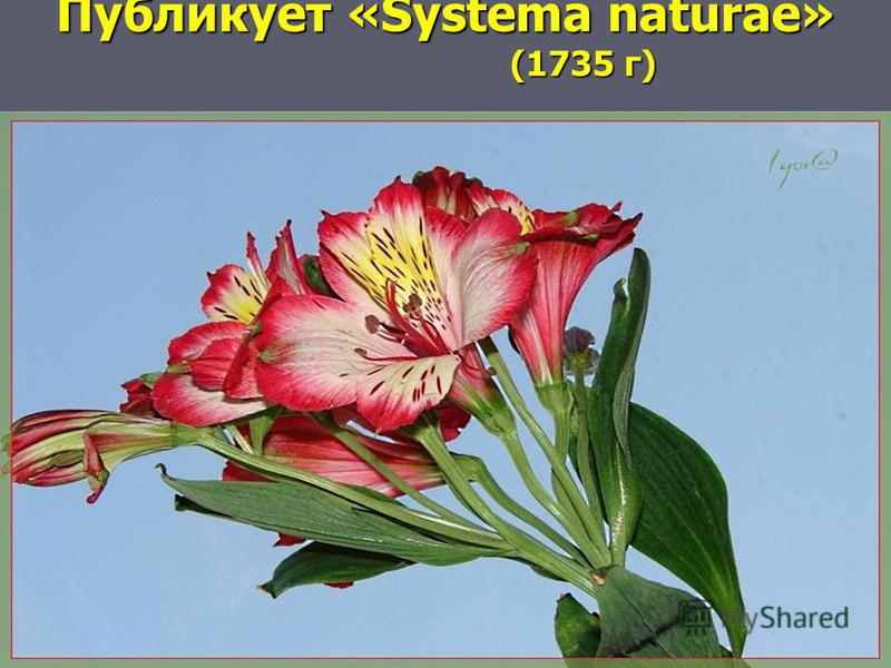 Публикует «Systema naturae» (1735 г)