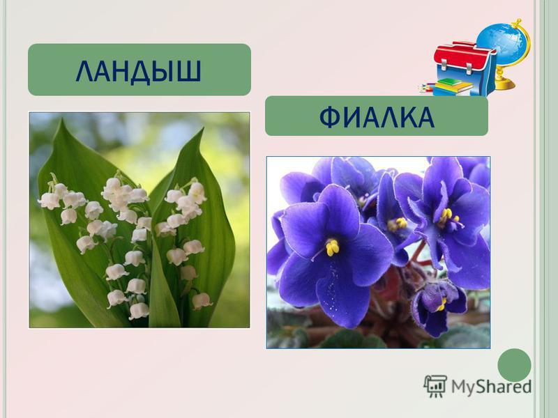 ЛАНДЫШ ФИАЛКА