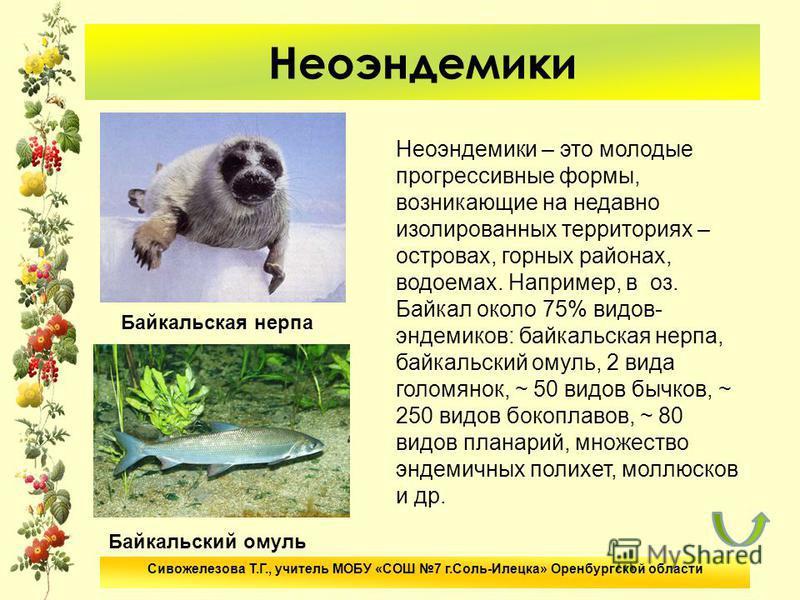 Неоэндемики Неоэндемики – это молодые прогрессивные формы, возникающие на недавно изолированных территориях – островах, горных районах, водоемах. Например, в оз. Байкал около 75% видов- эндемиков: байкальская нерпа, байкальский омуль, 2 вида голомяно