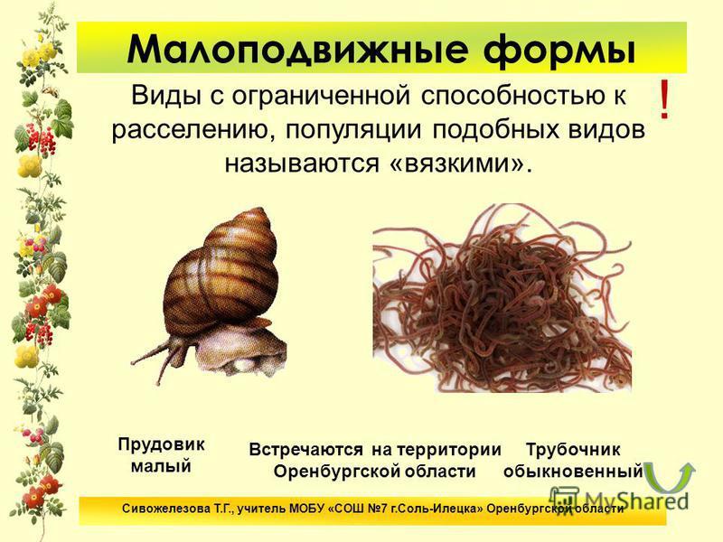 Малоподвижные формы Виды с ограниченной способностью к расселению, популяции подобных видов называются «вязкими». Прудовик малый Сивожелезова Т.Г., учитель МОБУ «СОШ 7 г.Соль-Илецка» Оренбургской области ! Встречаются на территории Оренбургской облас