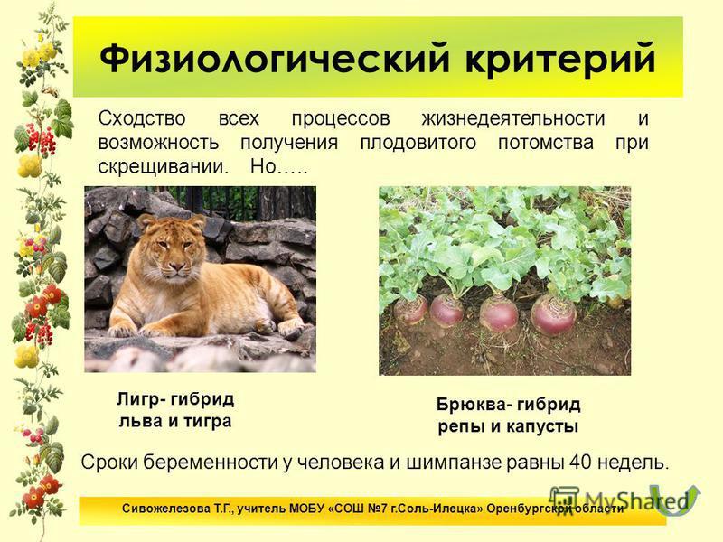 Физиологический критерий Сходство всех процессов жизнедеятельности и возможность получения плодовитого потомства при скрещивании. Но….. Лигр- гибрид льва и тигра Брюква- гибрид репы и капусты Сроки беременности у человека и шимпанзе равны 40 недель.