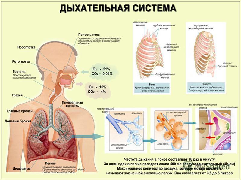 Дыхательная система (синоним система внешнего дыхания) совокупность органов и анатомических образований, обеспечивающих движение воздуха из атмосферы к легочным альвеолам и обратно (дыхательные циклы вдох выдох) и газообмен между поступающим в легкие