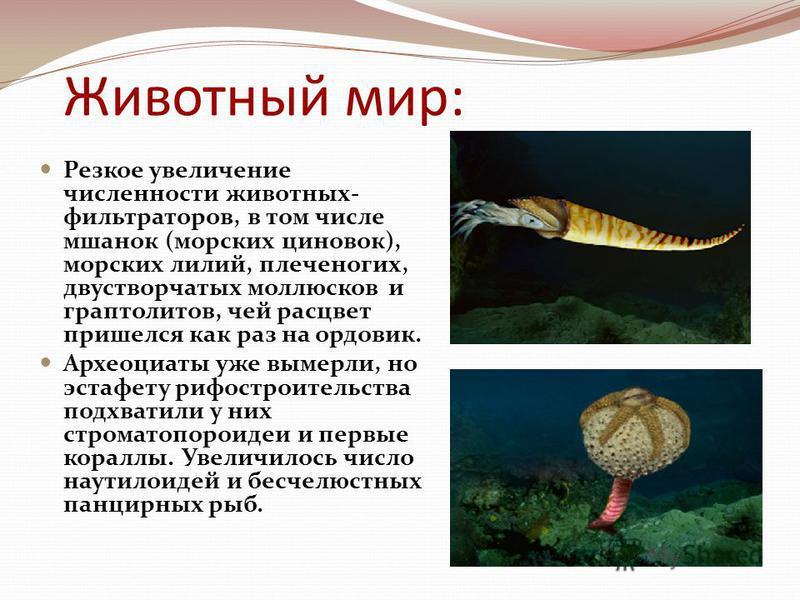 Животный мир: Резкое увеличение численности животных- фильтраторов, в том числе мшанок (морских циновок), морских лилий, плеченогих, двустворчатых моллюсков и граптолитов, чей расцвет пришелся как раз на ордовик. Археоциаты уже вымерли, но эстафету р
