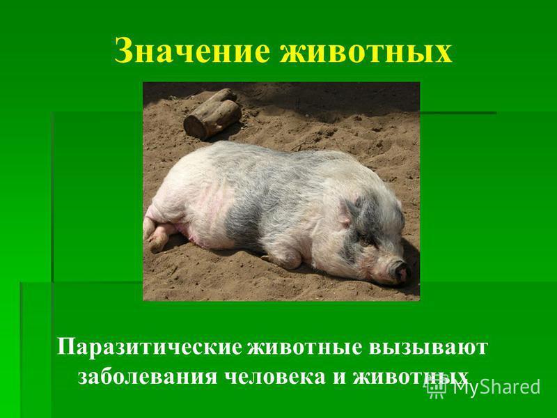 Значение животных Паразитические животные вызывают заболевания человека и животных