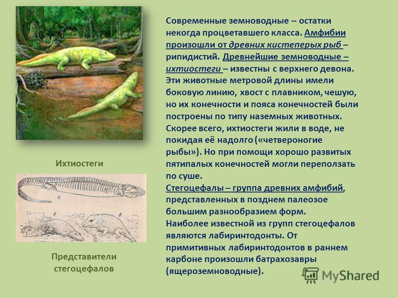 Современные земноводные – остатки некогда процветавшего класса. Амфибии произошли от древних кистеперых рыб – рипидистий. Древнейшие земноводные – ихтиостеги – известны с верхнего девона. Эти животные метровой длины имели боковую линию, хвост с плавн