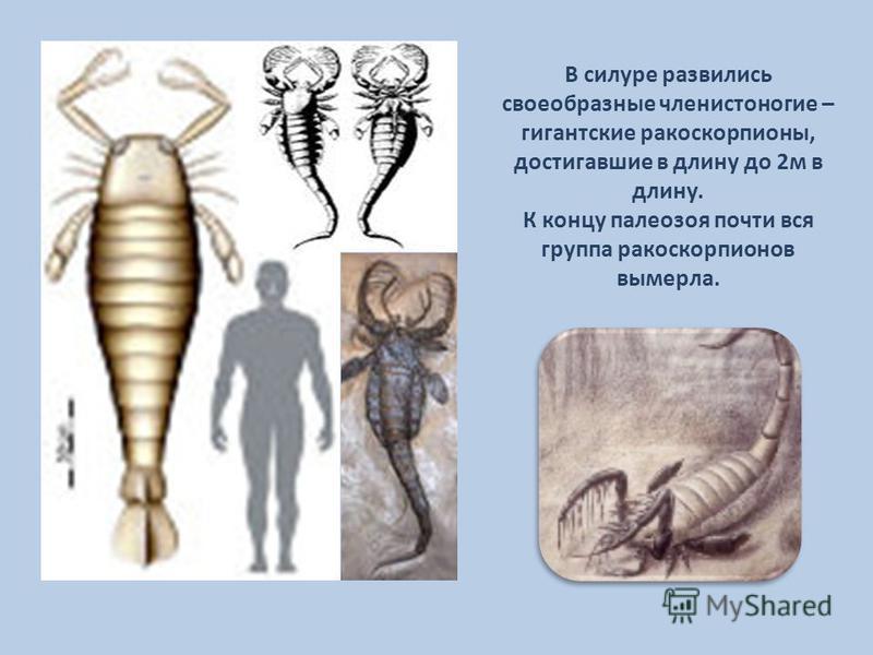 В силуре развились своеобразные членистоногие – гигантские ракоскорпионы, достигавшие в длину до 2 м в длину. К концу палеозоя почти вся группа ракоскорпионов вымерла.