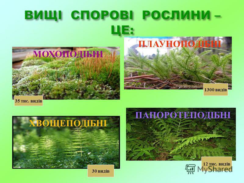 МОХОПОДІБНІ ПЛАУНОПОДІБНІ ХВОЩЕПОДІБНІ ПАПОРОТЕПОДІБНІ 35 тис. видів 1300 видів 30 видів 12 тис. видів