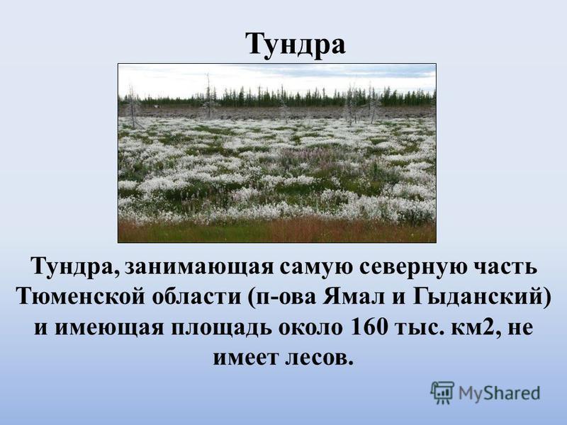 Тундра, занимающая самую северную часть Тюменской области (п-ова Ямал и Гыданский) и имеющая площадь около 160 тыс. км 2, не имеет лесов. Тундра