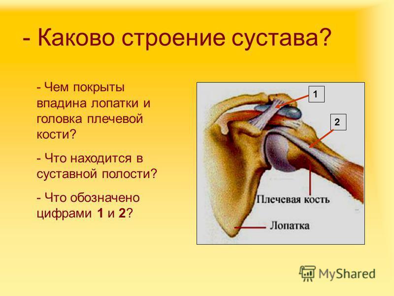 - Каково строение сустава? - Чем покрыты впадина лопатки и головка плечевой кости? - Что находится в суставной полости? - Что обозначено цифрами 1 и 2? 1 2