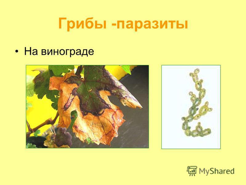 Грибы -паразиты На винограде