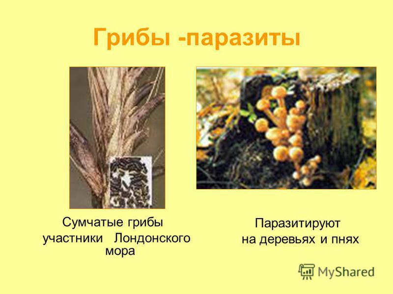Грибы -паразиты Сумчатые грибы участники Лондонского мора Паразитируют на деревьях и пнях