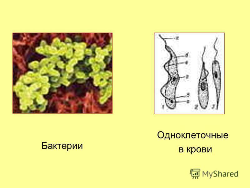 Бактерии Одноклеточные в крови