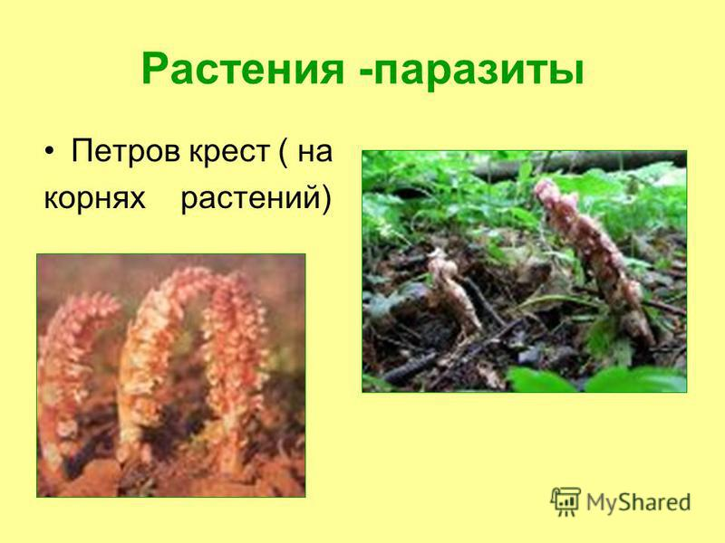Растения -паразиты Петров крест ( на корнях растений)