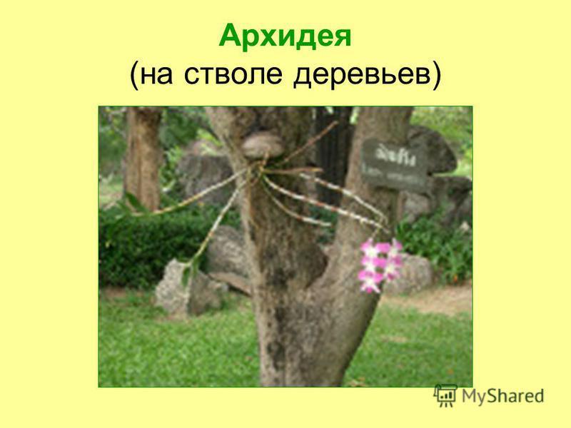 Архидея (на стволе деревьев)