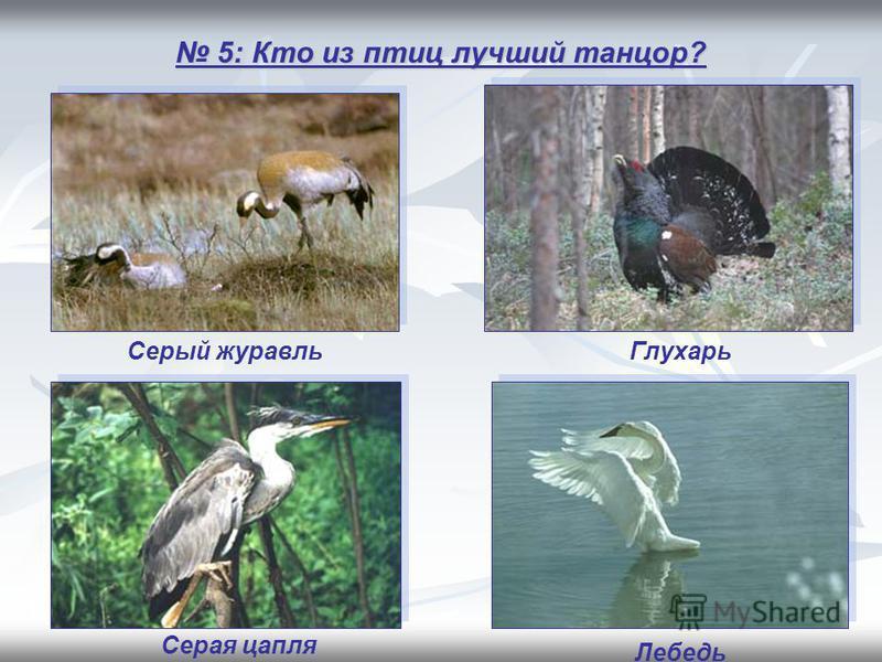 5: Кто из птиц лучший танцор? 5: Кто из птиц лучший танцор? Глухарь Лебедь Серая цапля Серый журавль