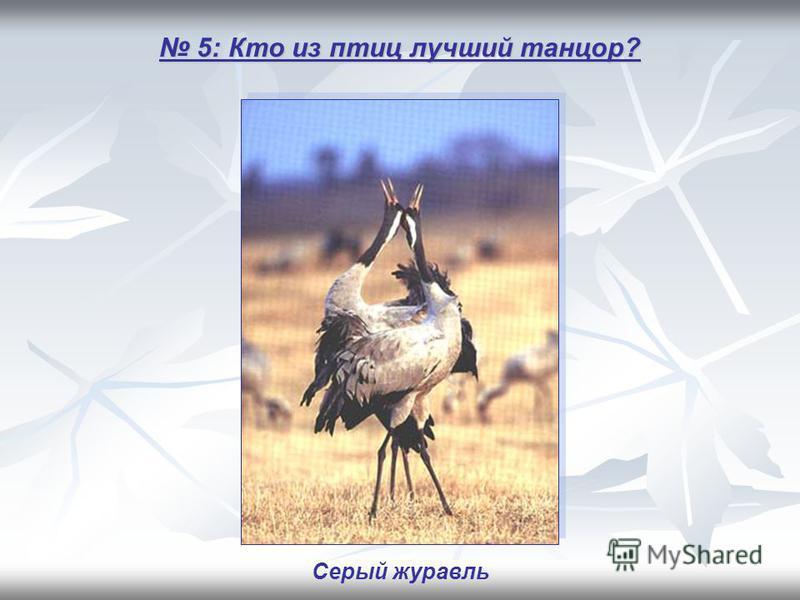 5: Кто из птиц лучший танцор? 5: Кто из птиц лучший танцор? Серый журавль