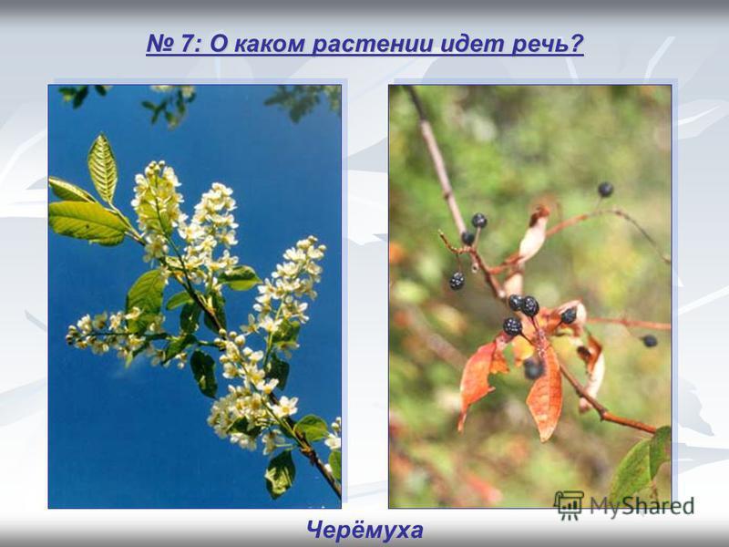 7: О каком растении идет речь? 7: О каком растении идет речь? Черёмуха