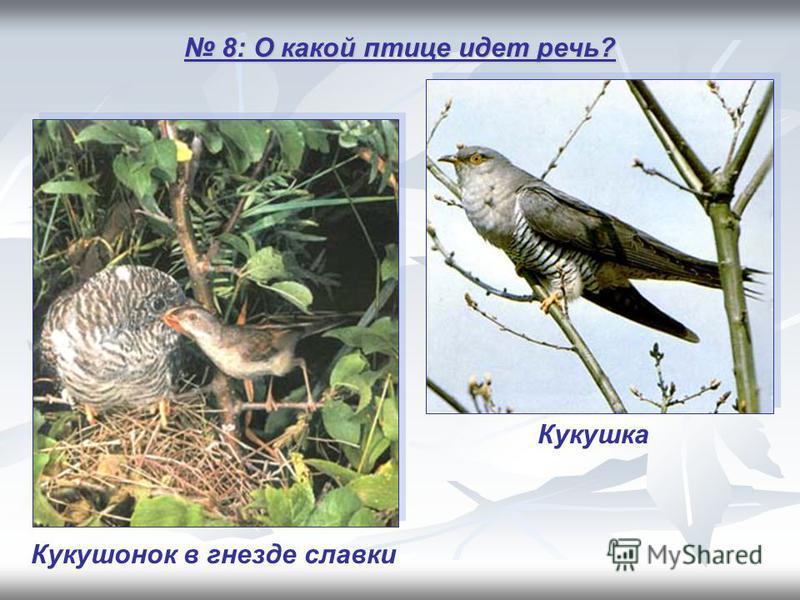 8: О какой птице идет речь? 8: О какой птице идет речь? Кукушка Кукушонок в гнезде славки