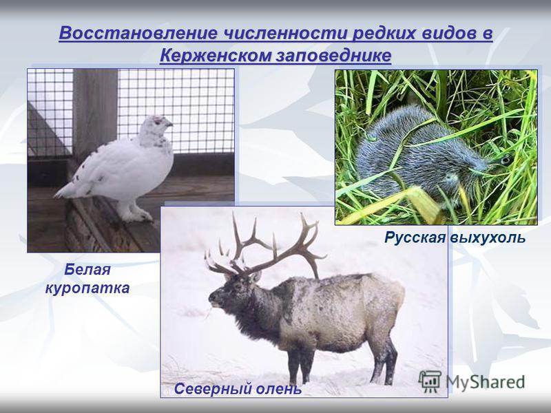 Восстановление численности редких видов в Керженском заповеднике Белая куропатка Русская выхухоль Северный олень