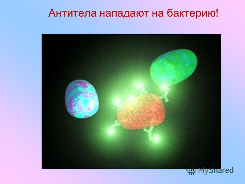 Антитела нападают на бактерию!