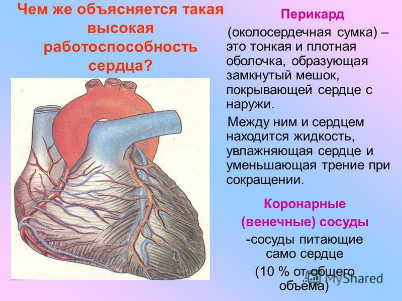 Чем же объясняется такая высокая работоспособность сердца? Перикард (околосердечная сумка) – это тонкая и плотная оболочка, образующая замкнутый мешок, покрывающей сердце с наружи. Между ним и сердцем находится жидкость, увлажняющая сердце и уменьшаю