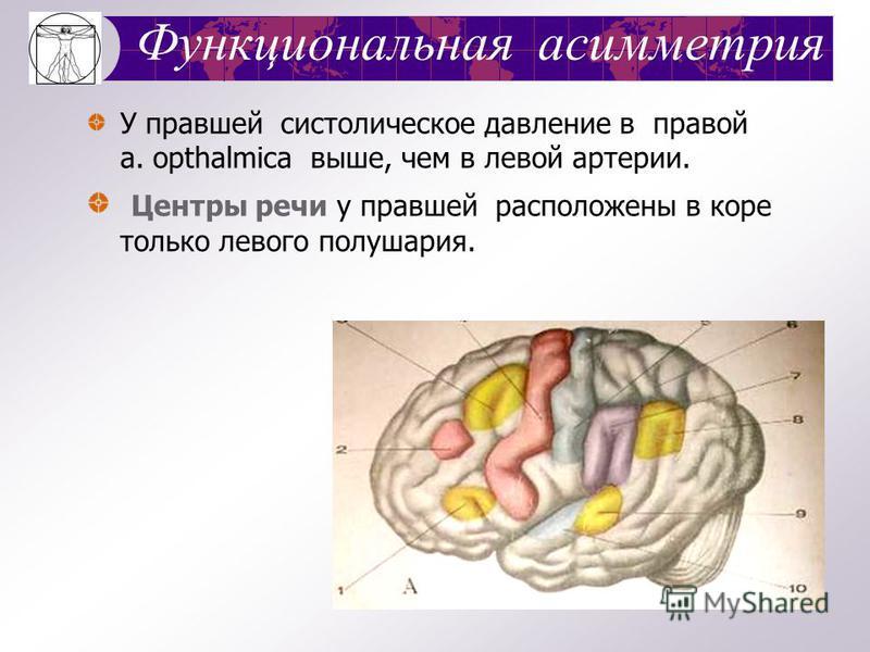 Морфологическая асимметрия Непарные органы (сердце, печень, желудок, селезенка) - сдвинуты в сторону от медианной плоскости. Левая почка – лежит выше правой почки. Преобладание массы правой руки над левой. Ветвление сосудов, нервов.