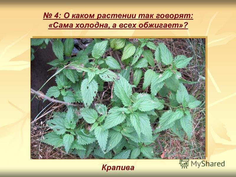4: О каком растении так говорят: «Сама холодна, а всех обжигает»? Крапива