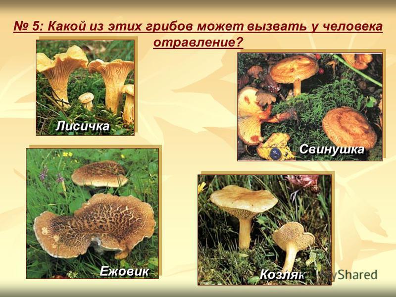5: Какой из этих грибов может вызвать у человека отравление? Лисичка Лисичка Свинушка Свинушка Ежовик Ежовик Козляк Козляк
