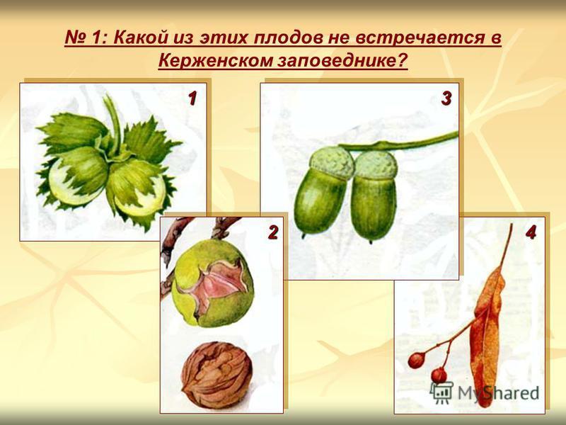 1: Какой из этих плодов не встречается в Керженском заповеднике? 1 4 3 2