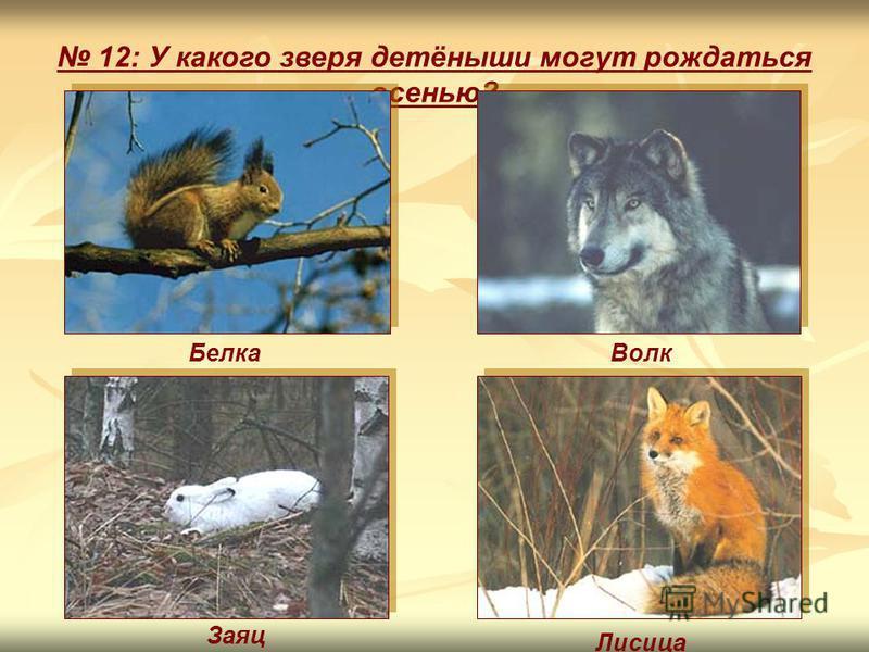 12: У какого зверя детёныши могут рождаться осенью? Заяц Лисица Белка Волк