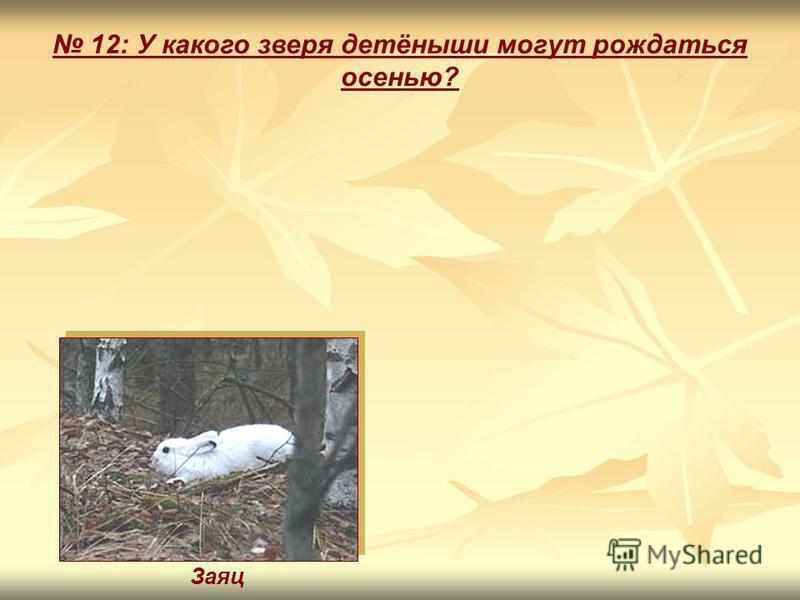 12: У какого зверя детёныши могут рождаться осенью? Заяц