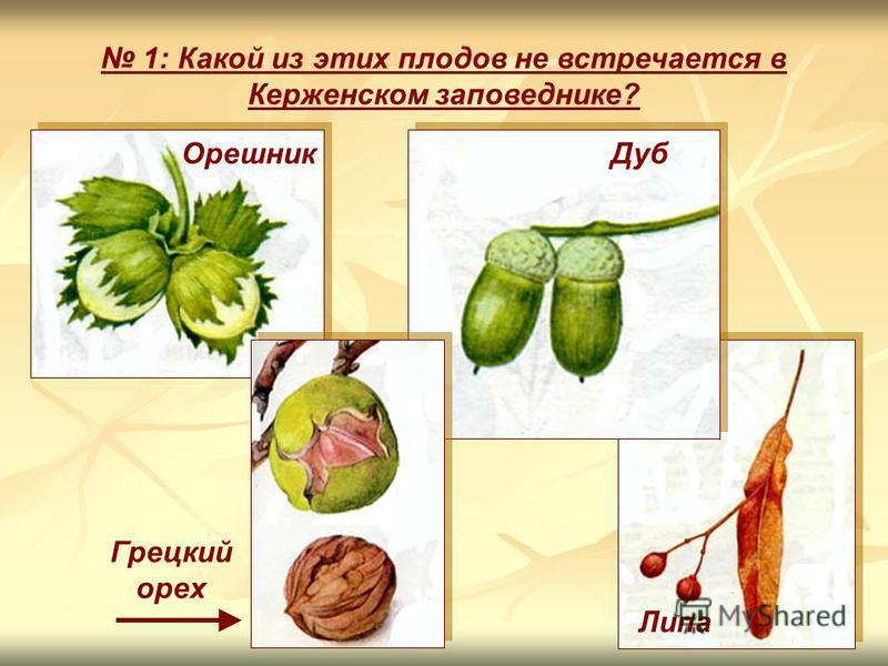 Орешник Дуб Липа Грецкий орех